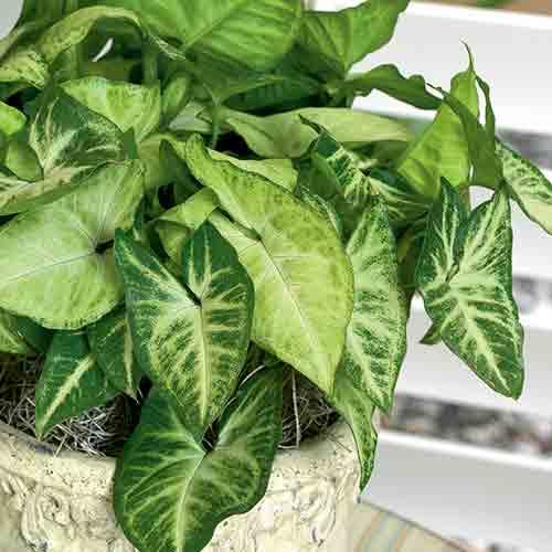 Syngonium podophyllum, una pianta da interno che ha bisogno di poca luce.