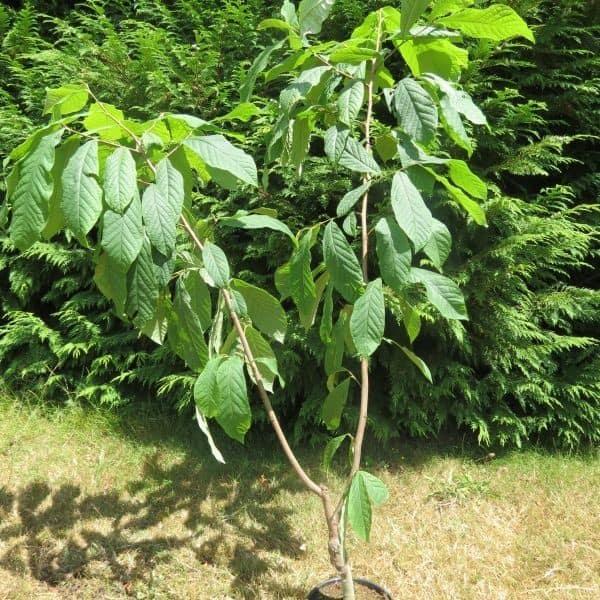 Asimina Tribola, una pianta da frutto che si può coltivare anche in vaso.