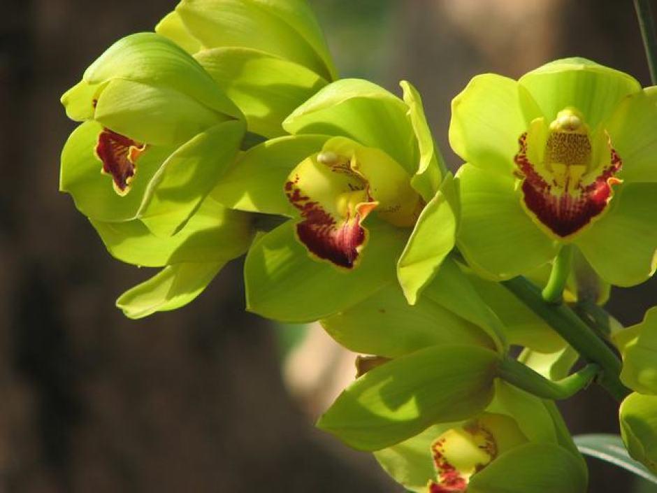 Orchidea di Shenzhen Nongke, uno dei fiori più costosi al mondo.