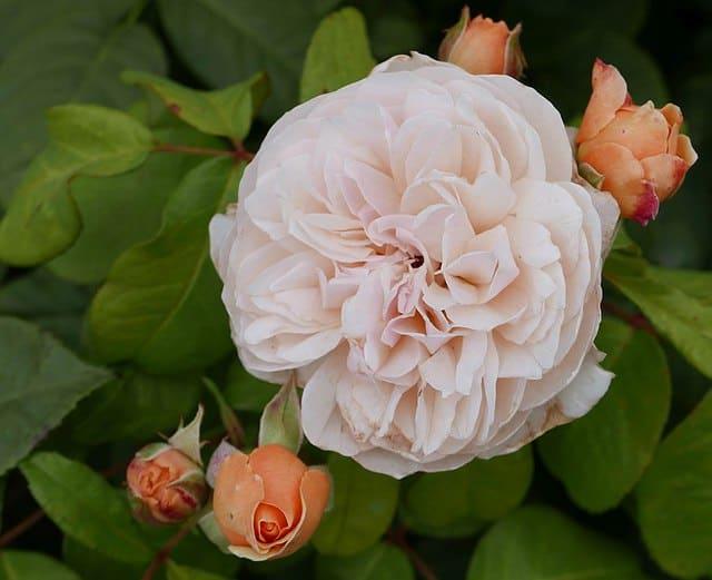 Rosa Juliet, uno dei fiori più costosi al mondo.