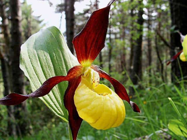 Scarpetta di Venere, un fiore che appartiene alla famiglia delle Orchidee.
