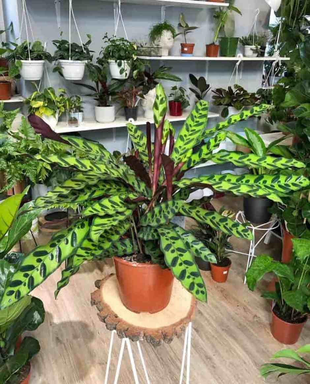 Calathea Rattlesnake  o Calathea lancifolia, una delle piante trend per il 2021