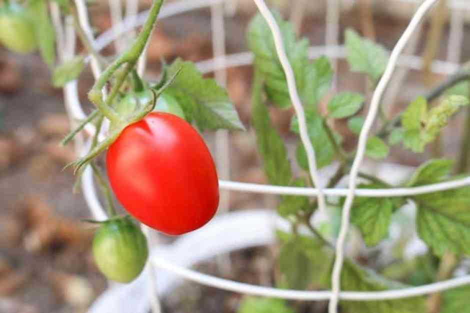 Pomodori, ortaggi semplici da coltivare in vaso