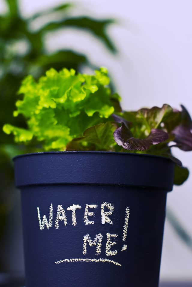 Lattuga, un ortaggio che si può coltivare anche in vaso