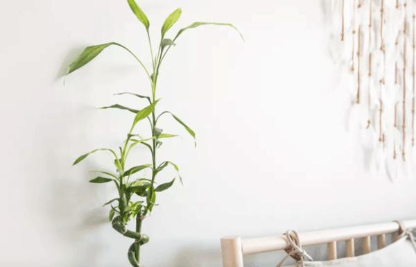 Il bambù è una pianta esotica che si può coltivare in casa o in giardino