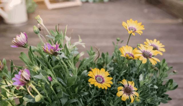 Margerita africana, perfetta per dare un tocco di colore al giardino