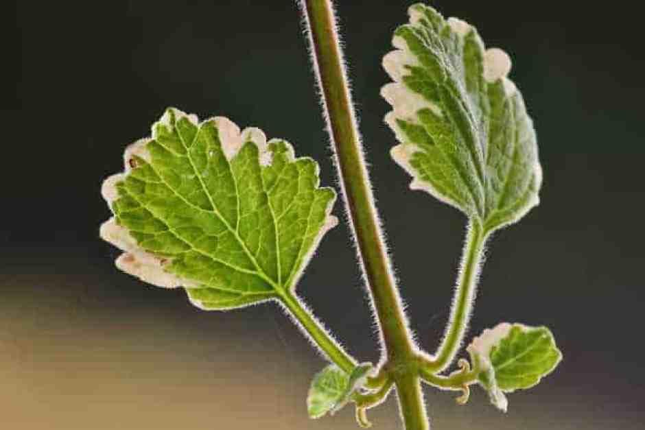 Foglie di pianta dell'incenso