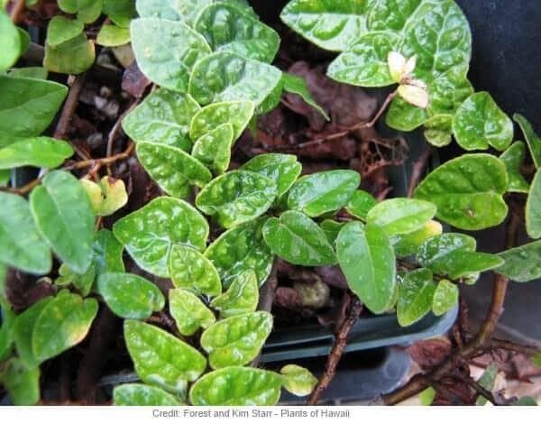 Ficus Pumila, una pianta d'appartamento ideale per l'autunno