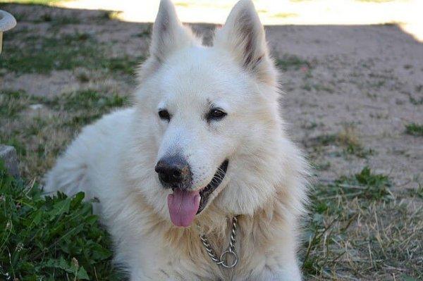 Berger Blanc Suisse top 10 chiens de garde