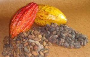 trinitario cacao