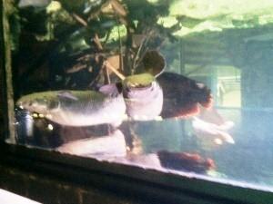 aquarium porte dorée0112