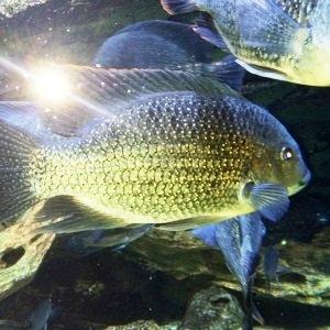 aquarium porte dorée0173