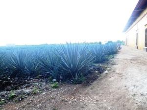mexiquevisite fabrique tequila5