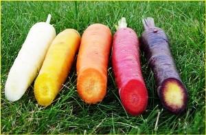 meilleures varietes de carottes