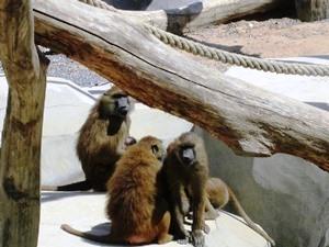 babouin guinée1