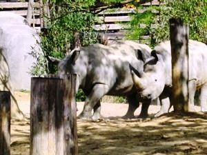 rhinocerosblanc21