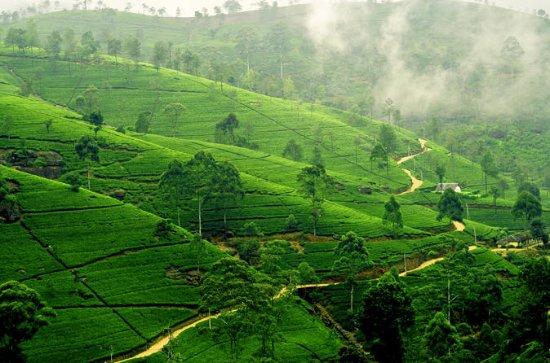 champs de thé