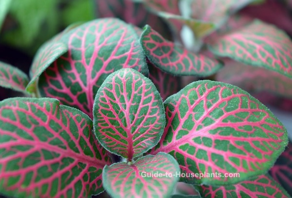 Image result for fittonia images