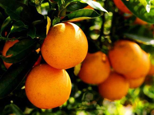 Florida Orange Tree