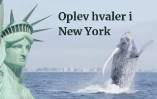Oplev hvaler i New York