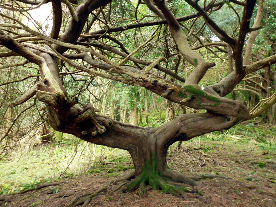 boulder tree P1010511