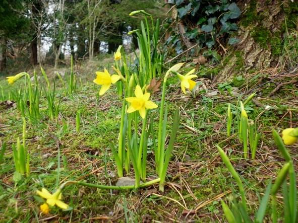 daffodils P1010346