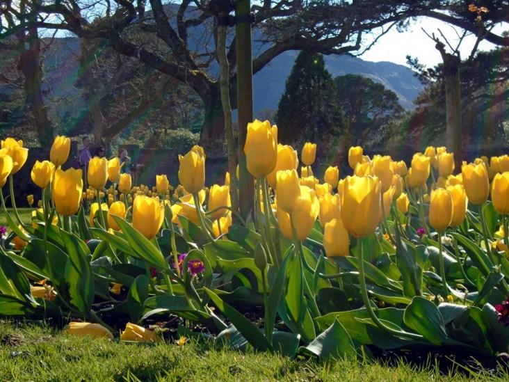 yellow tulips DSC00171