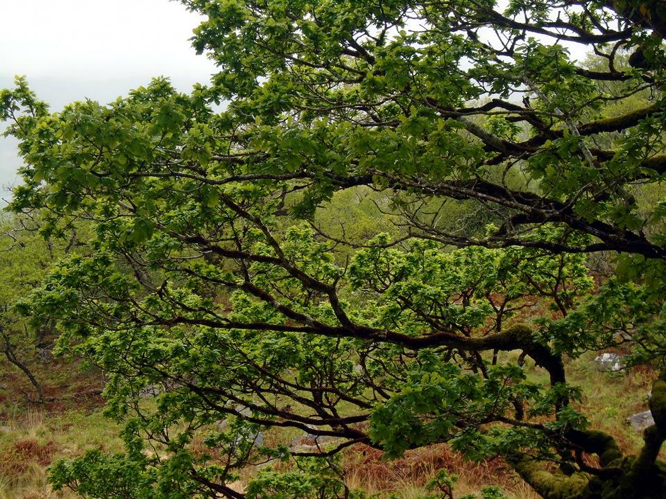 Ancient Oak Woodlands Gallan Eile