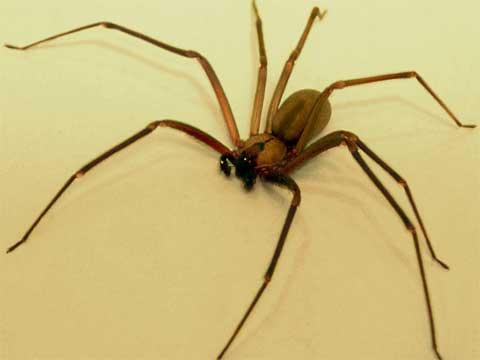 dangerous_recluse_spider.jpg
