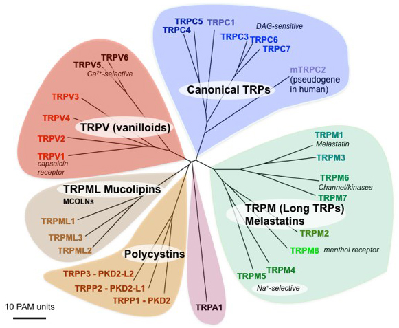 Transient Receptor Potential channels | Introduction | BPS ...