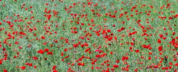 Sono mille papaveri rossi