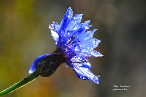 Cornflower defrosting at Clandon Wood Natural Burial Ground