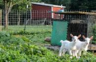 Goats at the Pearlstone Center Farm in Reisterstown, Maryland Photo by Dani Shae Thompson
