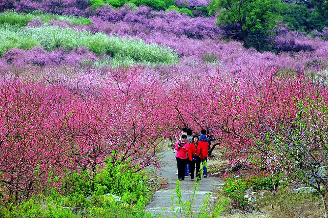 Gongcheng Peach Blossom Festival,Guilin