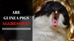 Are Guinea Pigs Aggressive