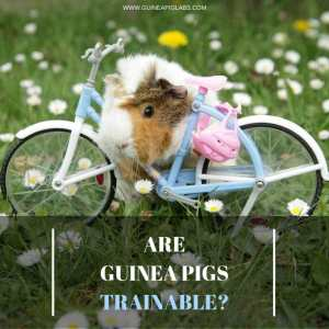 Are Guinea Pigs Trainable