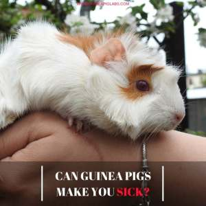 Can Guinea Pigs Make You Sick