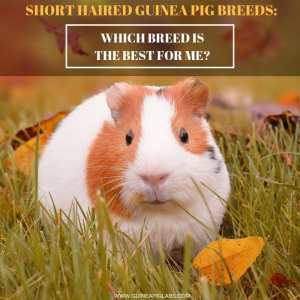 Short Haired Guinea Pig Breeds_ Which Breed Is The Best From Me