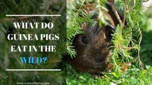 What Do Guinea Pigs Eat In The Wild