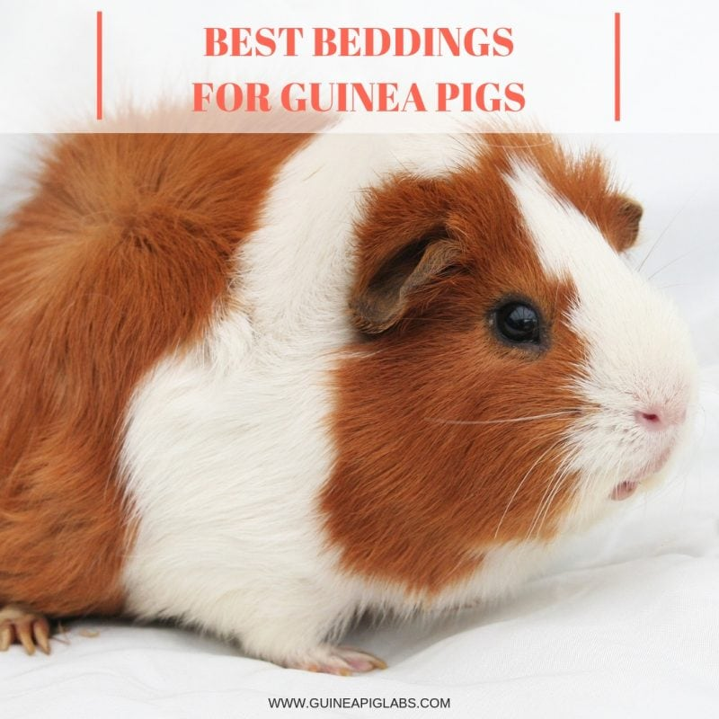 What is the Best Bedding for Guinea Pigs