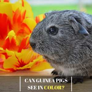 Can Guinea Pigs See In Color