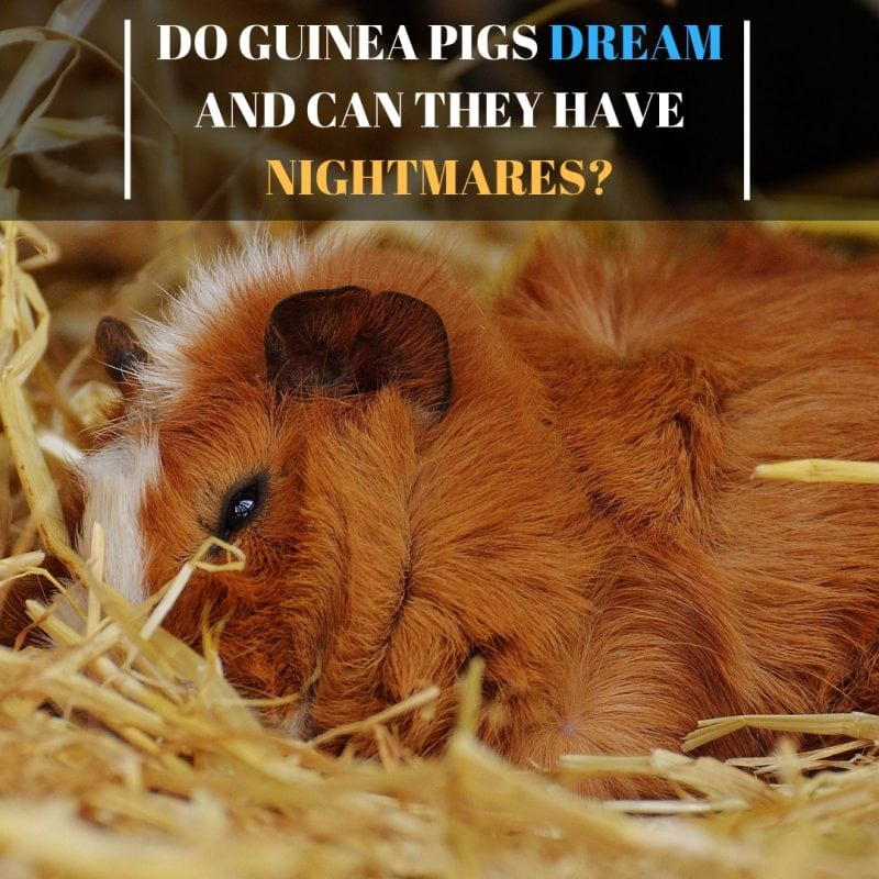 Do Guinea Pigs Dream And Can They Have Nightmares