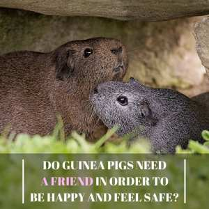 Do Guinea Pigs Need A Friend
