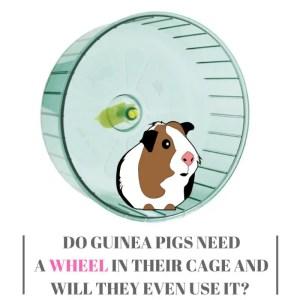 Do Guinea Pigs Need A Wheel