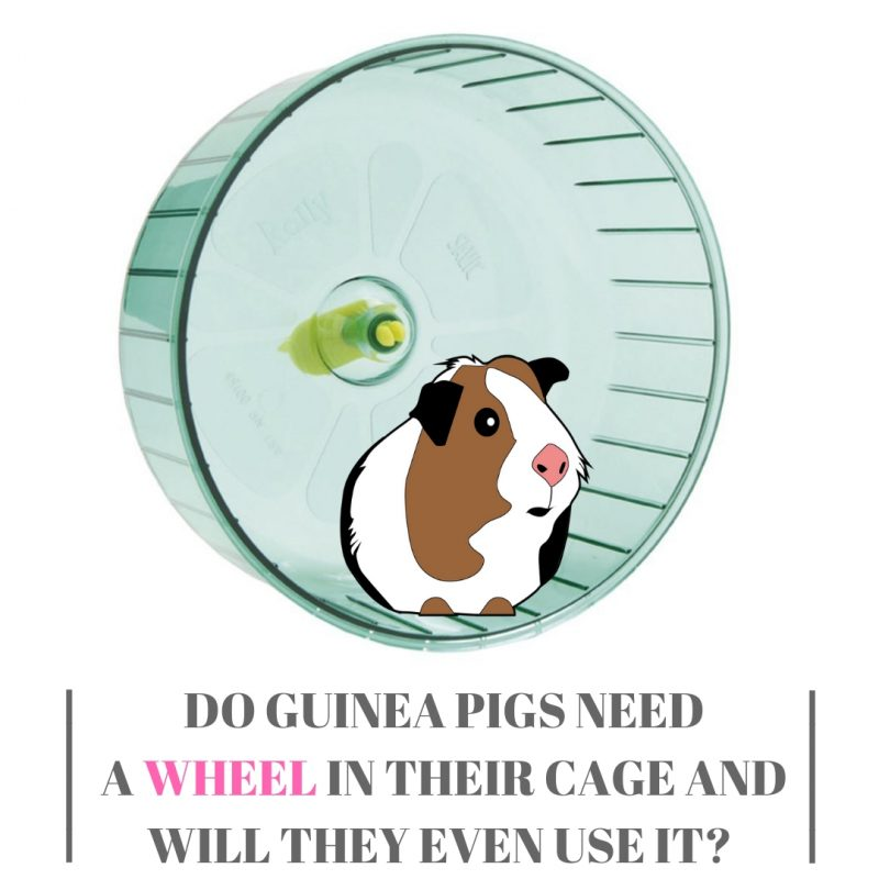 Do Guinea Pigs Need A Wheel