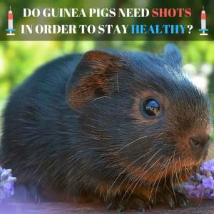Do Guinea Pigs Need Shots in Order to Stay Healthy