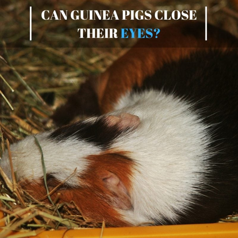 Can Guinea Pigs Close Their Eyes