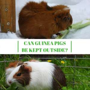 Can Guinea pigs be Kept Outside