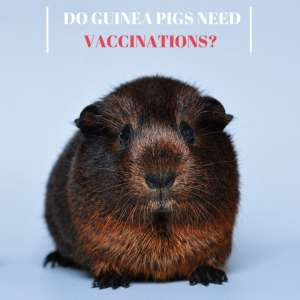 Do Guinea Pigs Need Vaccinations