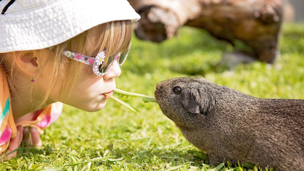 Humans Be Grateful to Guinea Pigs